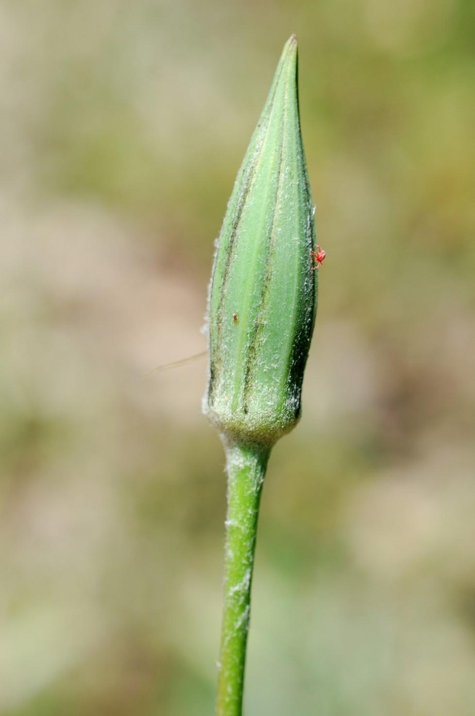 Tragopogon samaritani 5