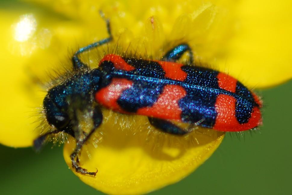 Trichodes alvearius - Cleridae