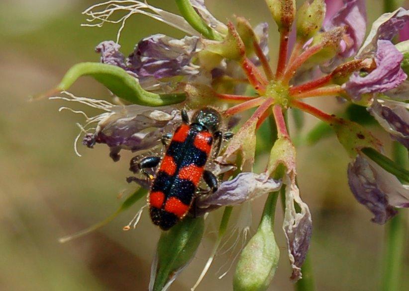 Trichodes apiarius - Cleridae