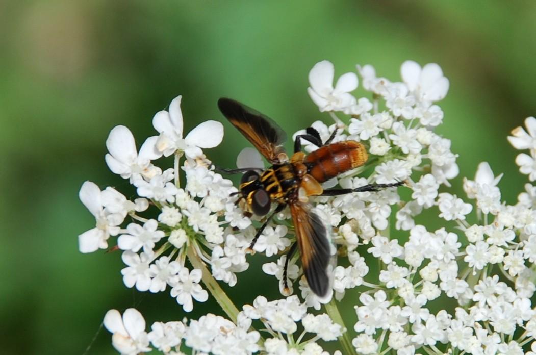 Trichopoda pennipes - Tachinidae