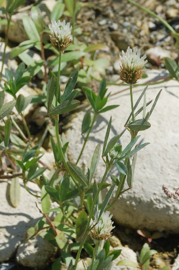 Trifolium alexandrinum 15