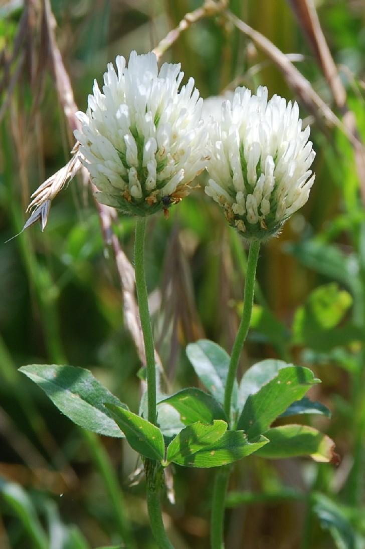 Trifolium alexandrinum 4