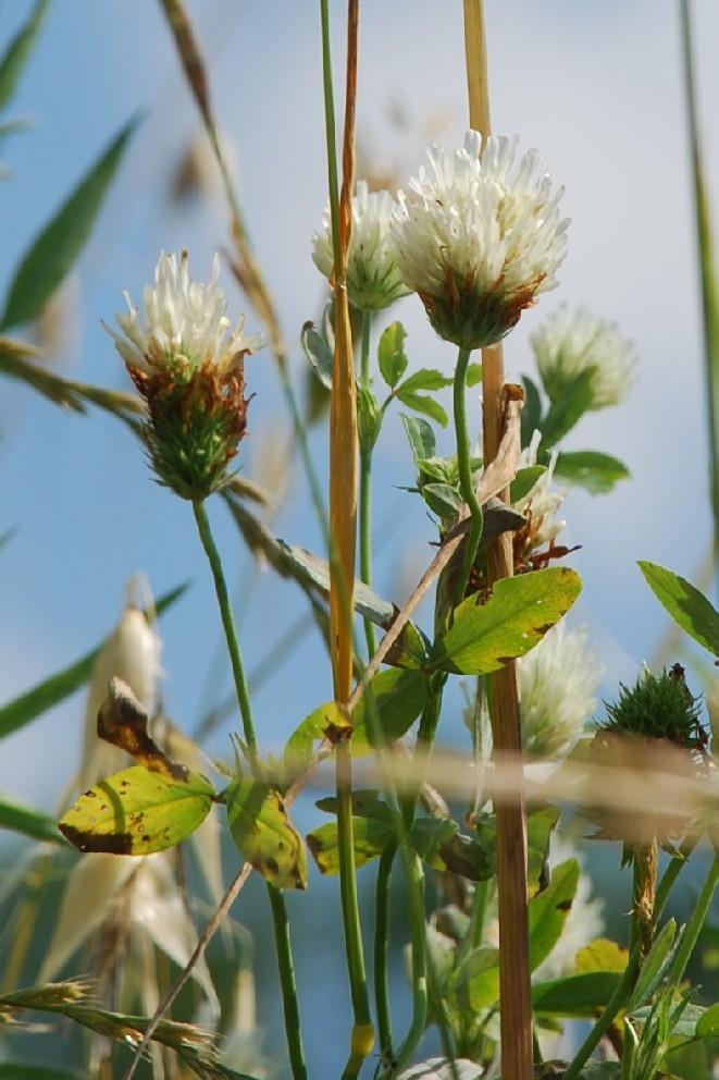 Trifolium alexandrinum 7