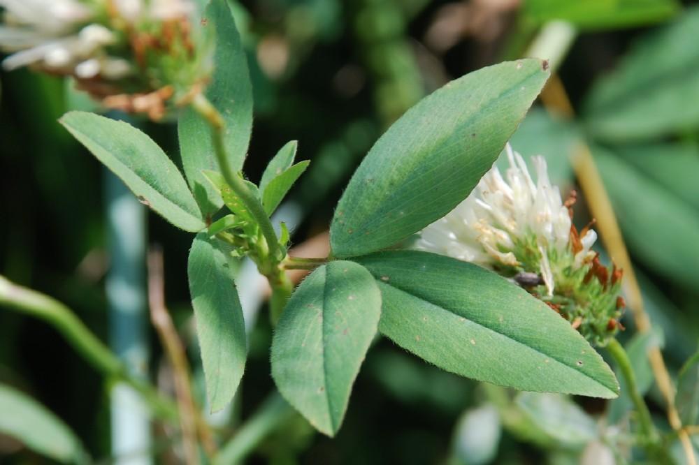 Trifolium alexandrinum 8