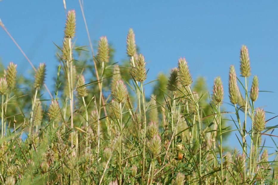 Trifolium angustifolium 10