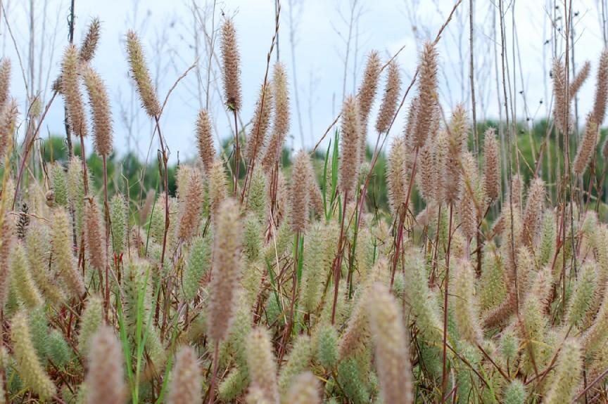 Trifolium angustifolium 12