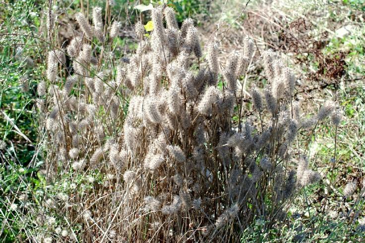 Trifolium angustifolium 16