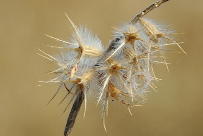 Trifolium angustifolium 4