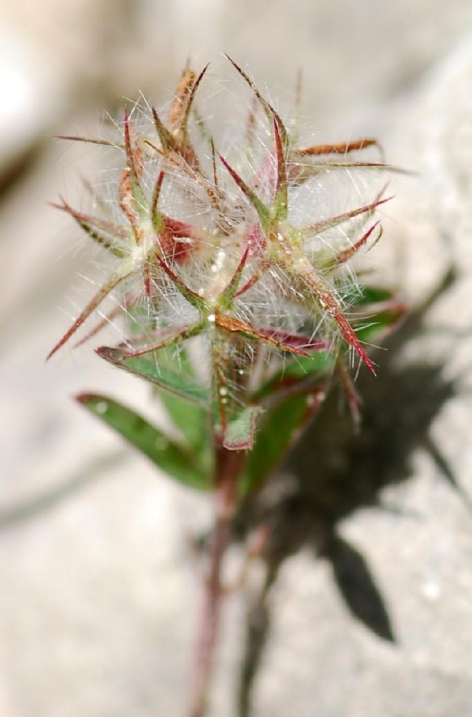 Trifolium angustifolium 5