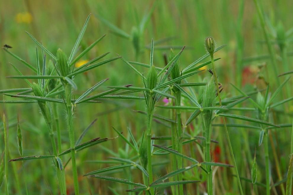 Trifolium angustifolium 6