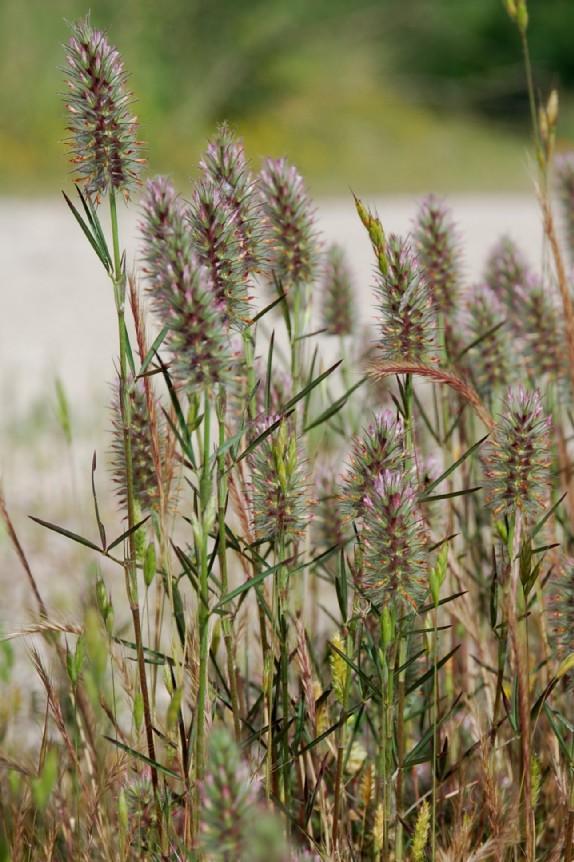 Trifolium angustifolium 9