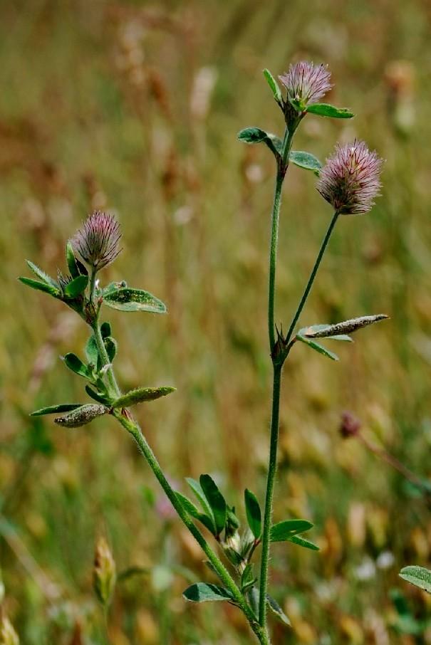 Trifolium arvense subsp. arvense