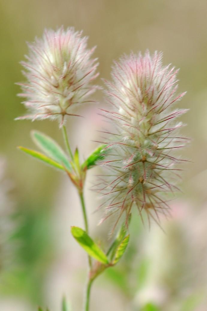 Trifolium arvense subsp. arvenseTrifolium arvense subsp. arvense