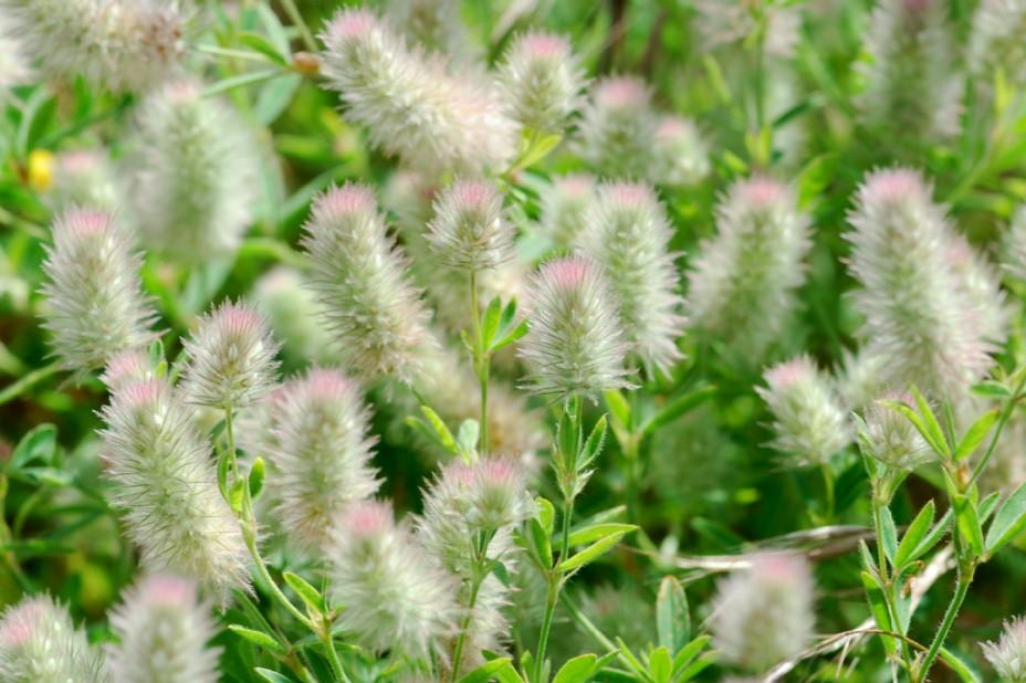 Trifolium arvense subsp. arvense 3