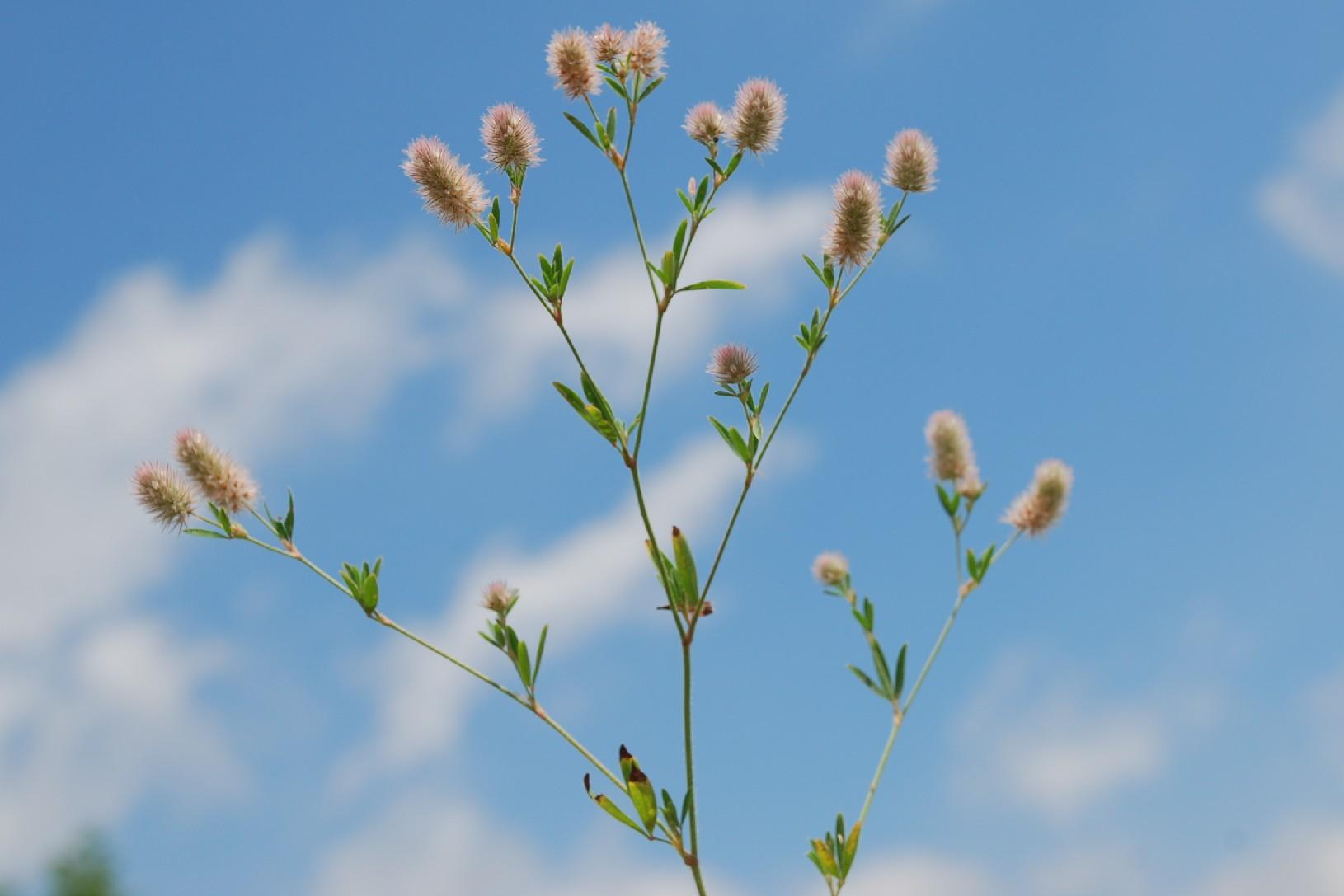 Trifolium arvense subsp. arvense 5