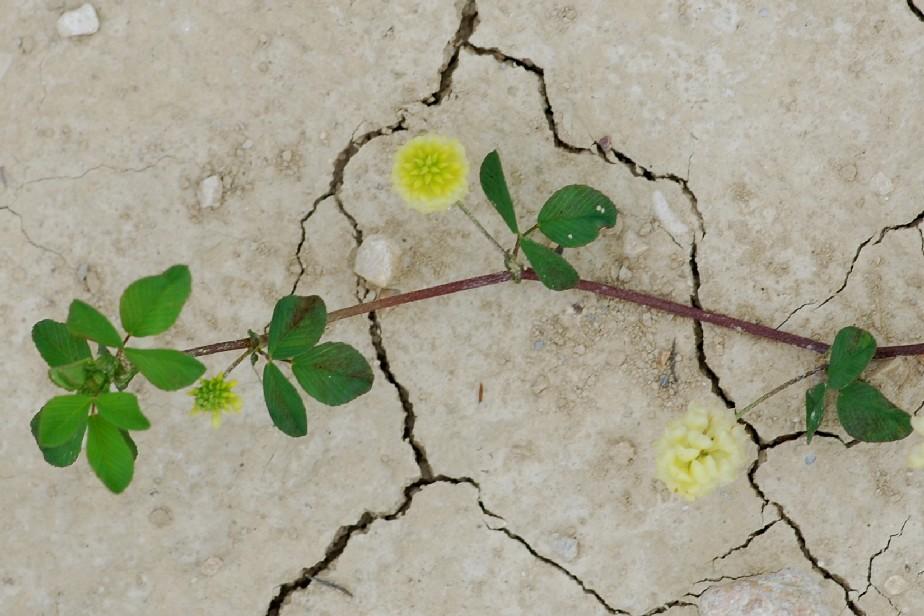 Trifolium campestre subsp. campestre 2