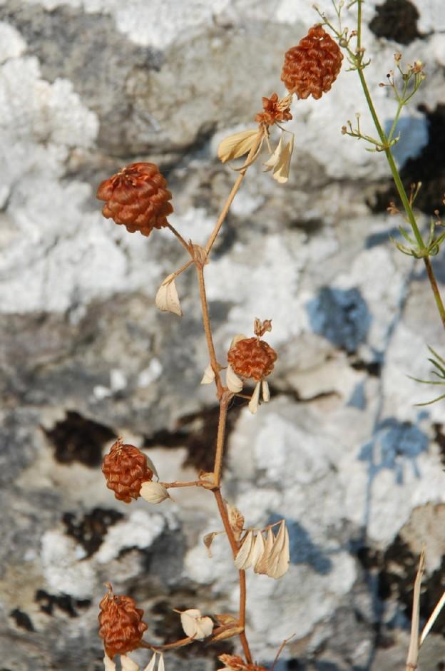 Trifolium campestre subsp. campestre 4