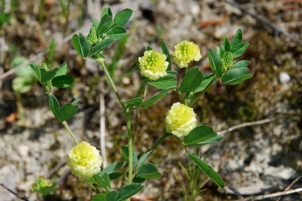Trifolium campestre subsp. campestre 5