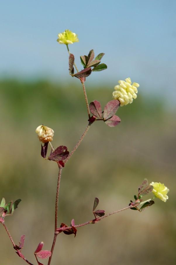 Trifolium campestre subsp. campestre 6