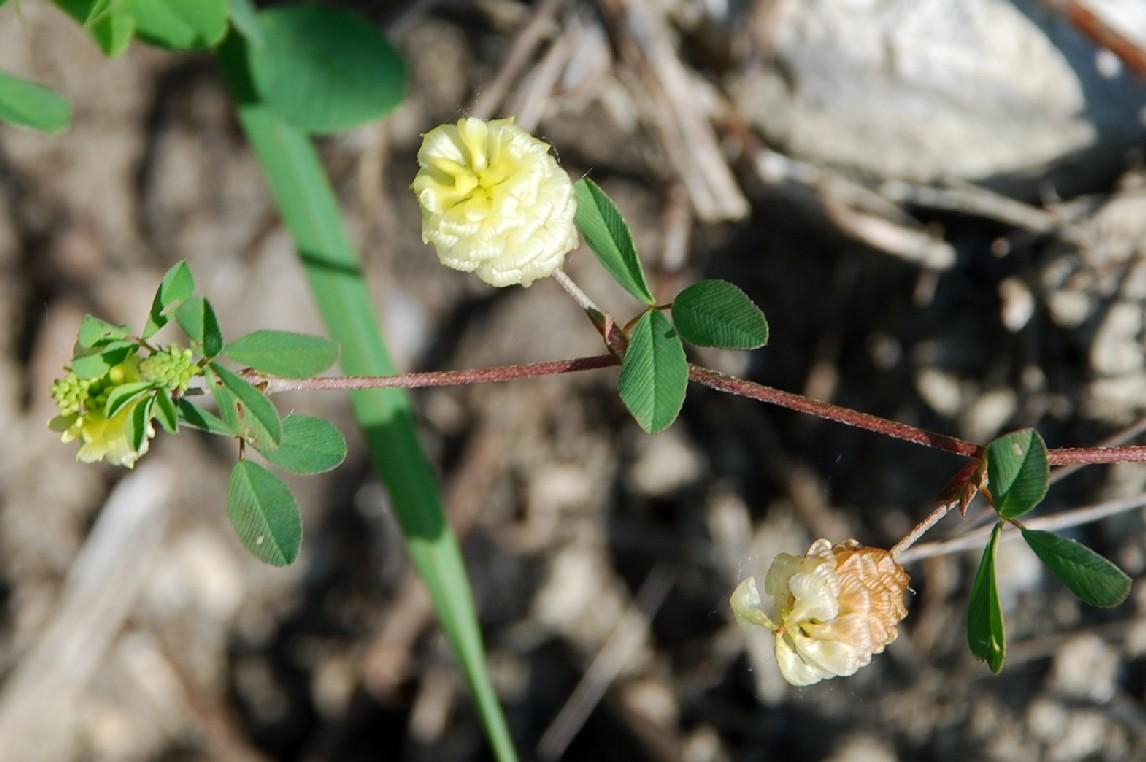 Trifolium campestre subsp. campestre 7