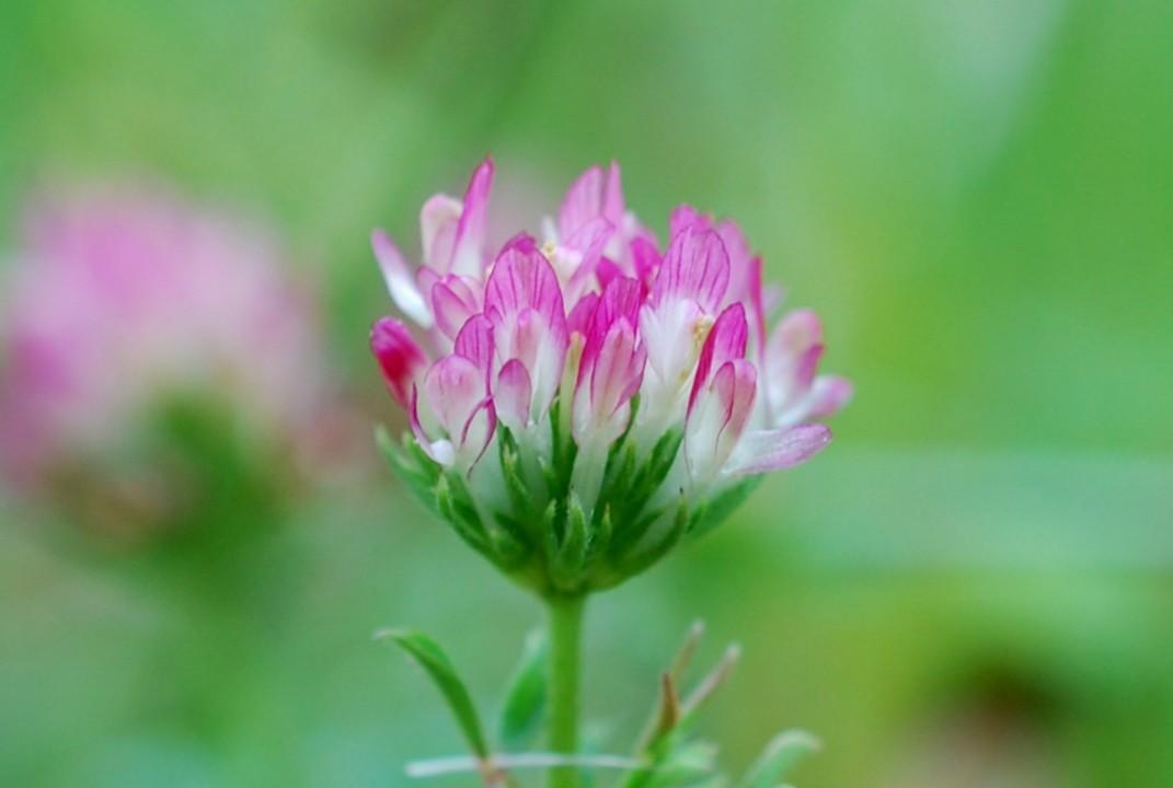 Trifolium echinatum 22
