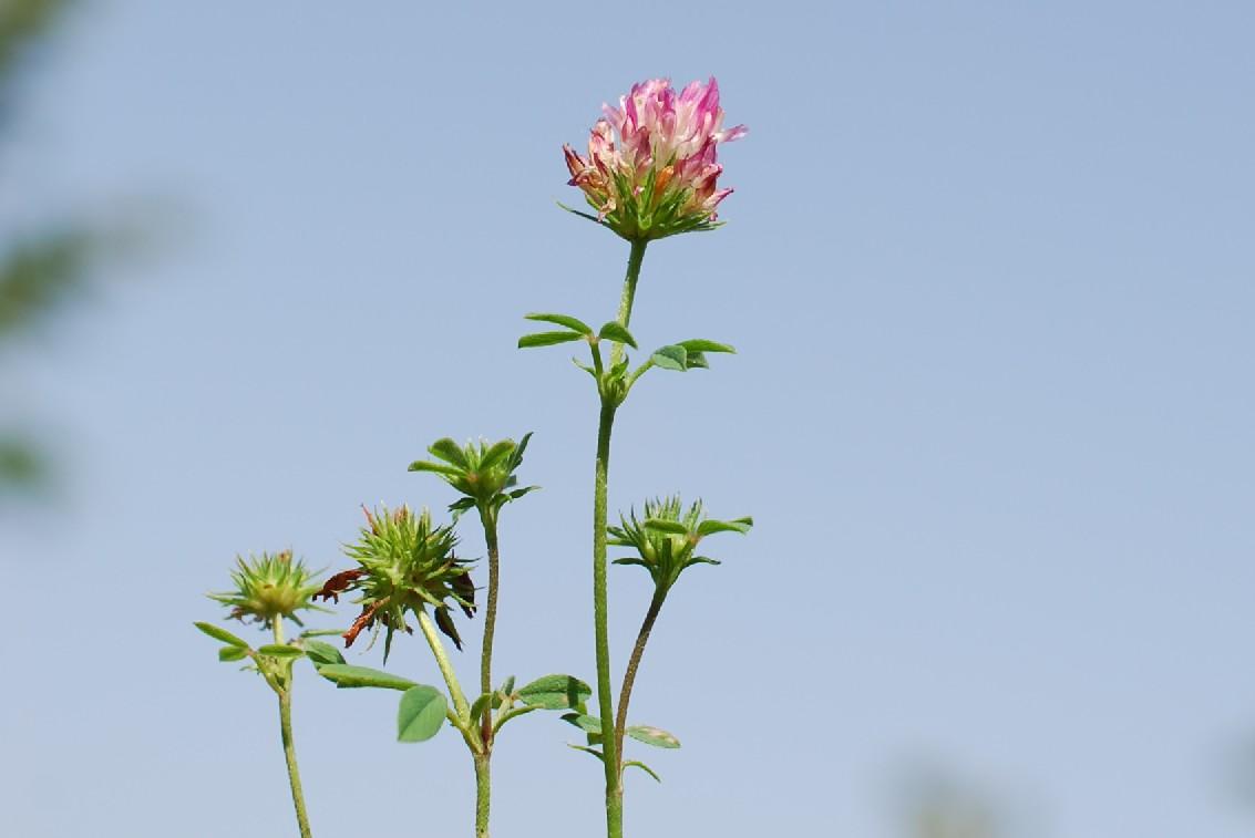 Trifolium echinatum 23