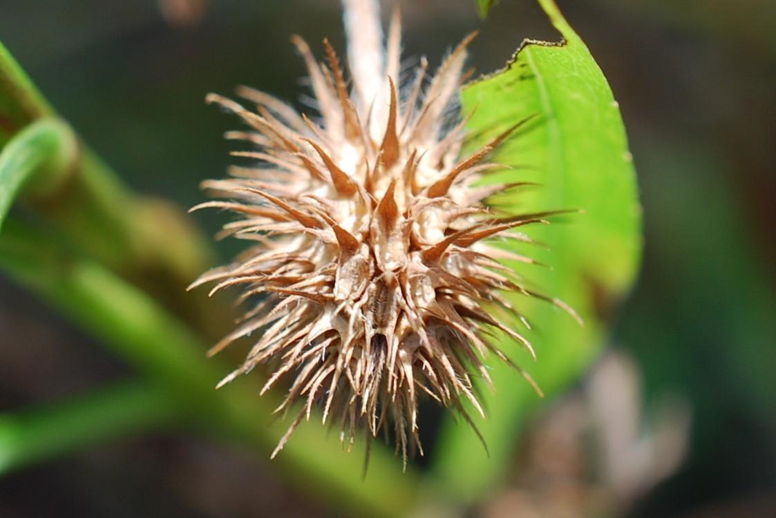 Trifolium echinatum 24