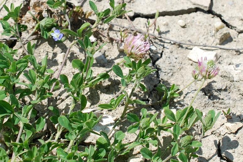 Trifolium echinatum 25
