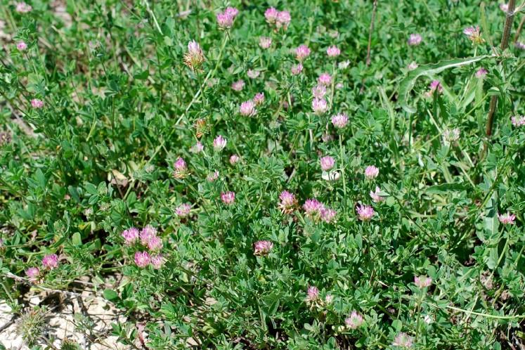 Trifolium echinatum 26