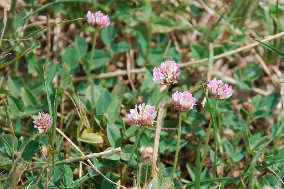 Trifolium fragiferum subsp. fragiferum 10