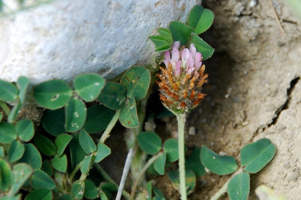 Trifolium fragiferum subsp. fragiferum 15