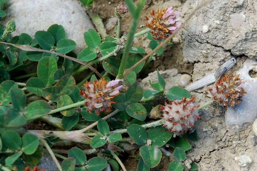 Trifolium fragiferum subsp. fragiferum 16