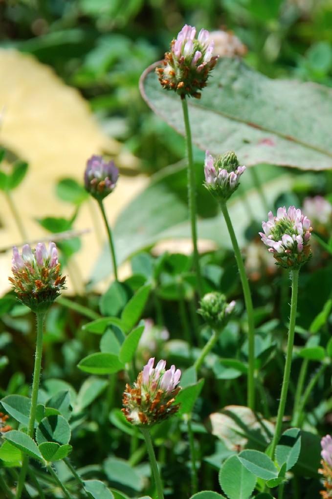 Trifolium fragiferum subsp. fragiferum 22
