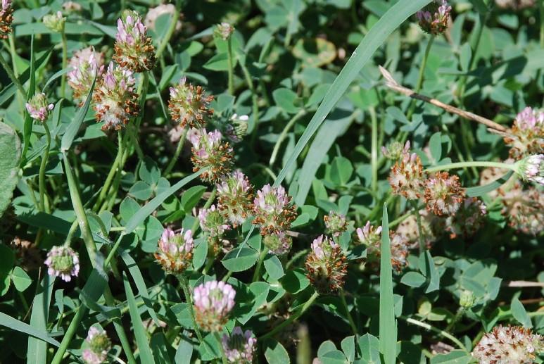 Trifolium fragiferum subsp. fragiferum 23