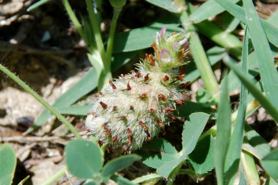 Trifolium fragiferum subsp. fragiferum 28