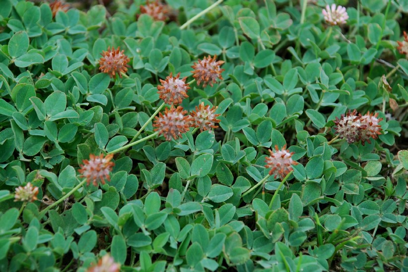 Trifolium fragiferum subsp. fragiferum 31
