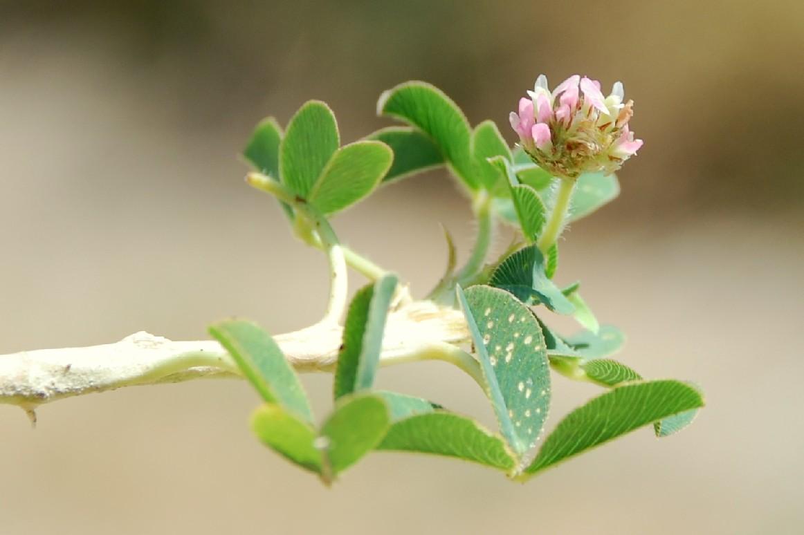 Trifolium fragiferum subsp. fragiferum 4