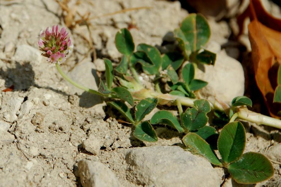 Trifolium fragiferum subsp. fragiferum 6