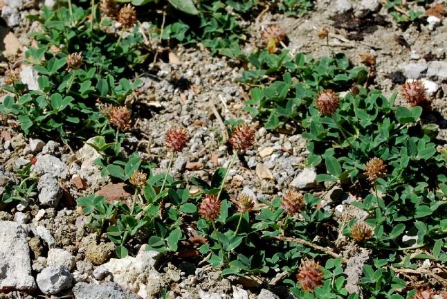 Trifolium fragiferum subsp. fragiferum 7