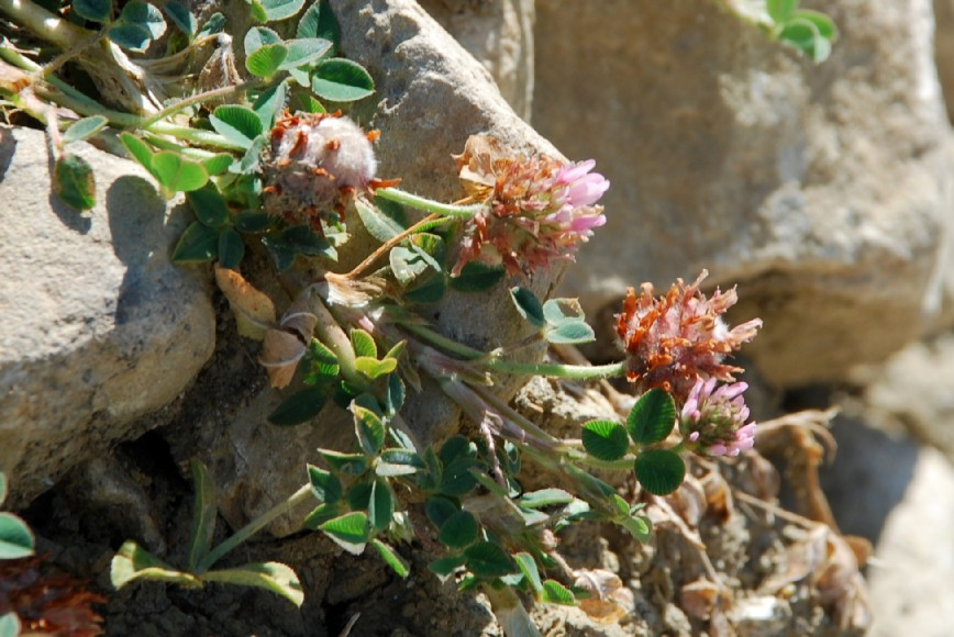 Trifolium fragiferum subsp. fragiferum 9