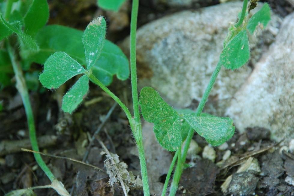 Trifolium incarnatum subsp. molinerii 14