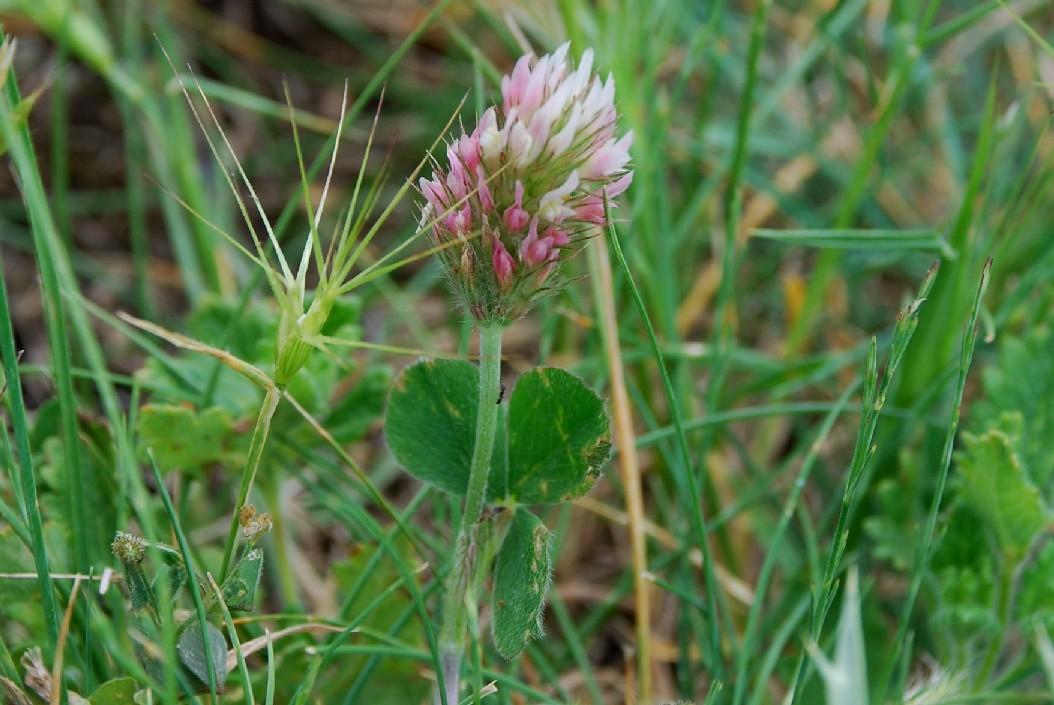 Trifolium incarnatum subsp. molinerii 18