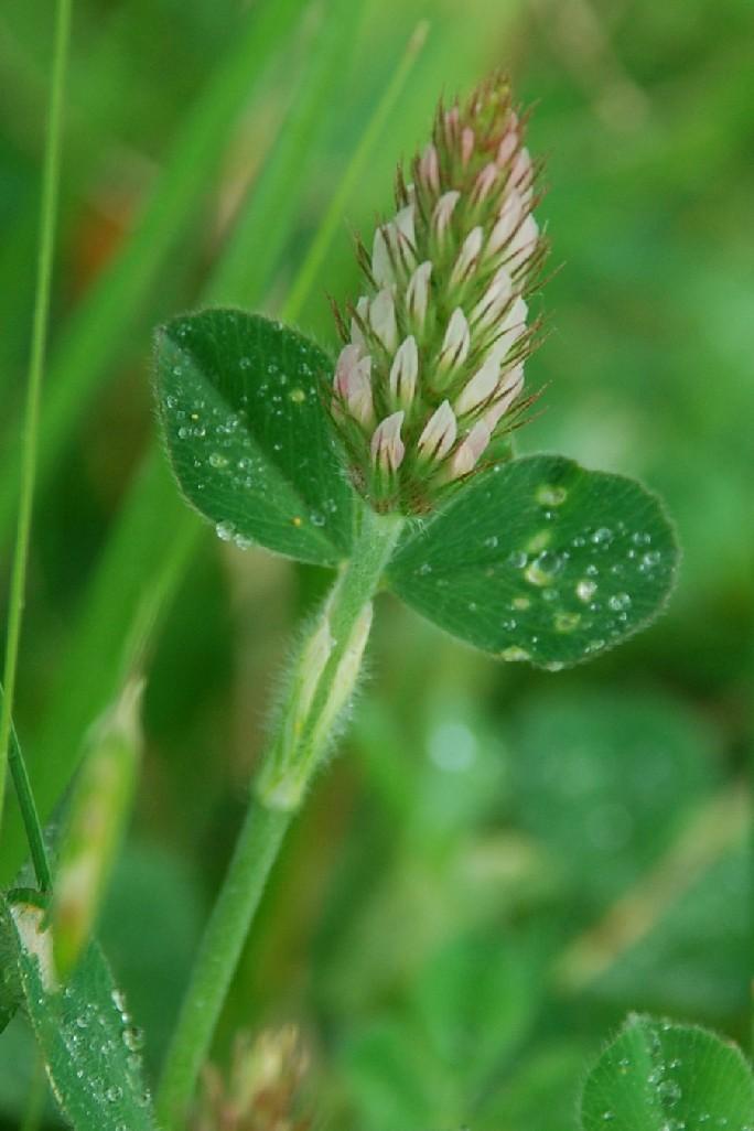 Trifolium incarnatum subsp. molinerii
