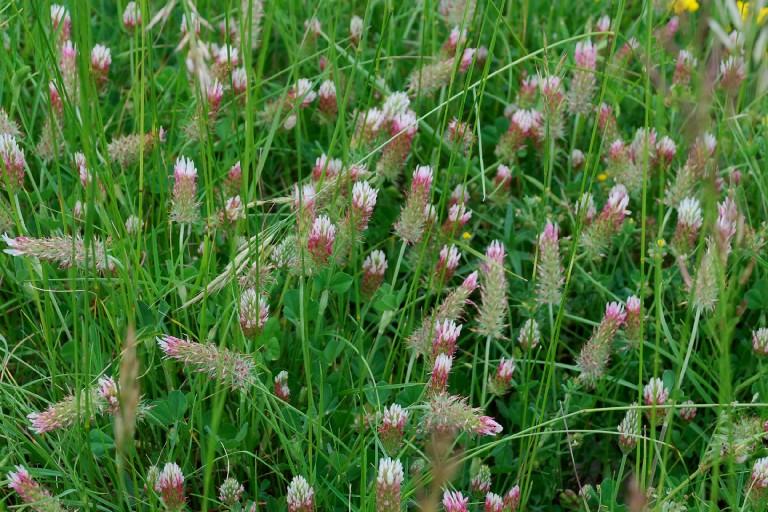 Trifolium incarnatum subsp. molinerii 20