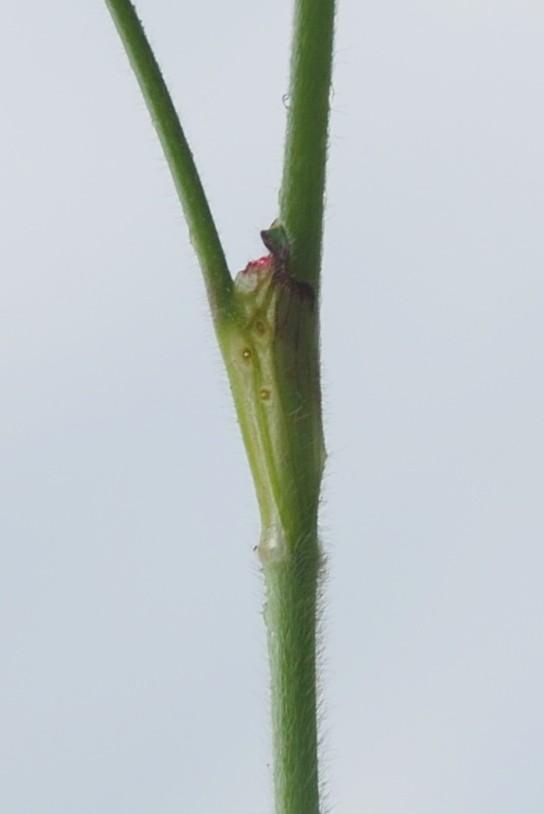 Trifolium incarnatum subsp. molinerii 5