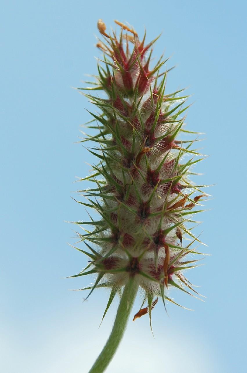 Trifolium incarnatum subsp. molinerii 9