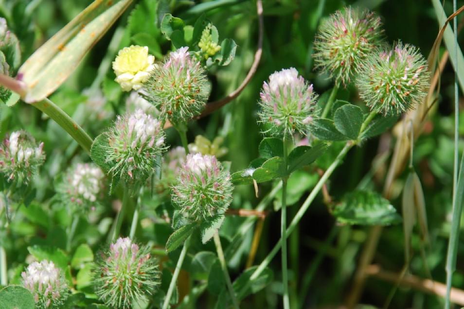 Trifolium lappaceum 11
