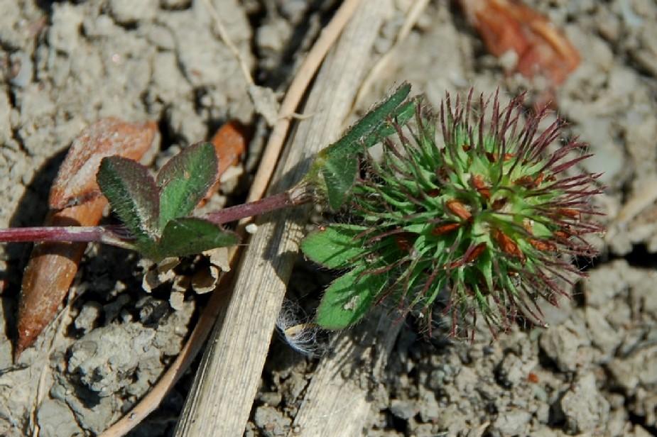 Trifolium lappaceum 13