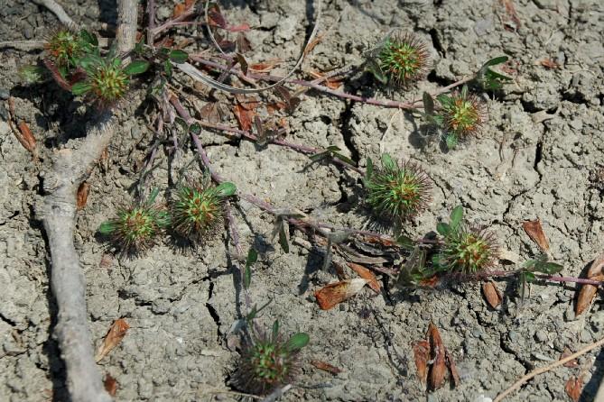 Trifolium lappaceum 14