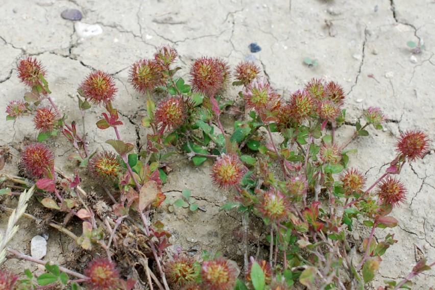 Trifolium lappaceum 18